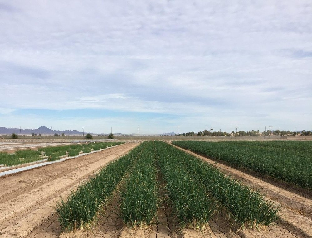 from fruit and vegetable seed producers... - Like Takii Seed Company's R&D farm in Yuma, AZ