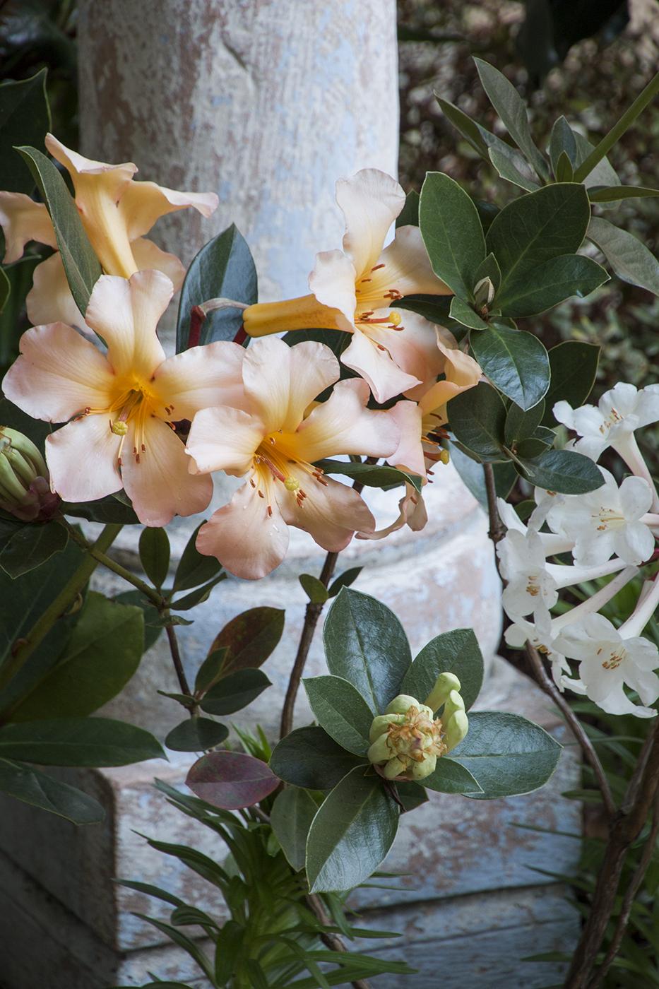 Vireya Rhododendron Harry Wu - Vireya Highland Debutante_6033.jpg