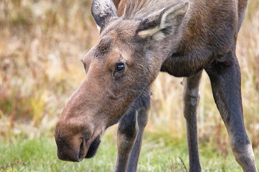 Moose Closeup.jpg