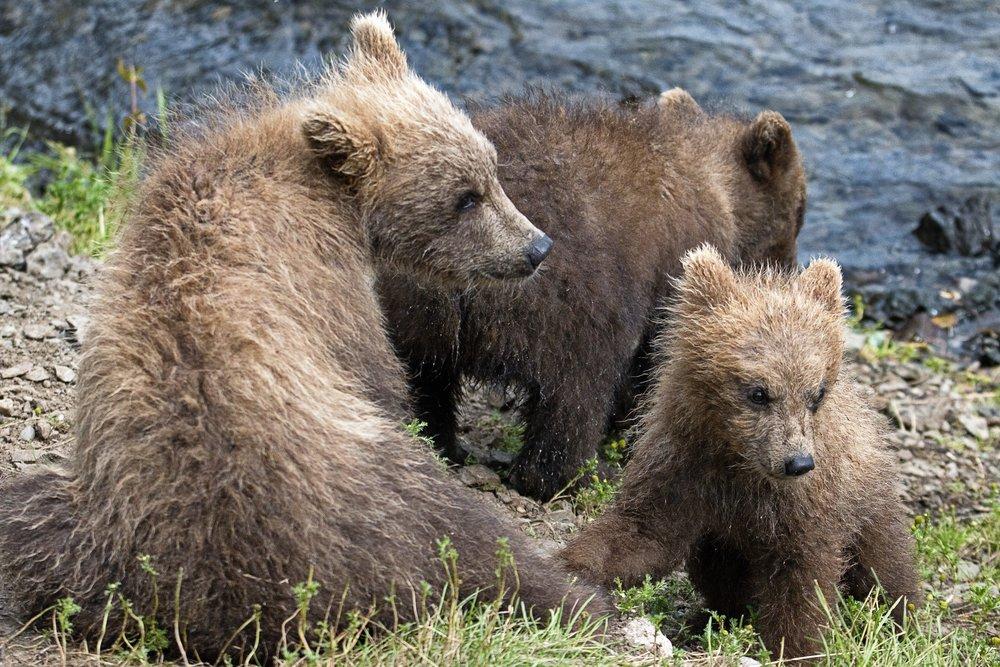3 Cubs.jpg