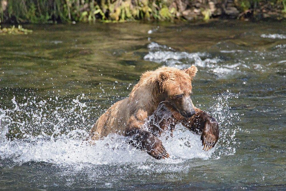 Bear Dive.jpg