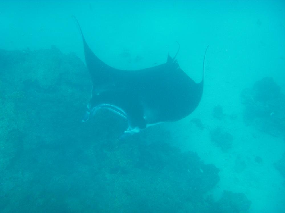 A beautiful manta ray feeding
