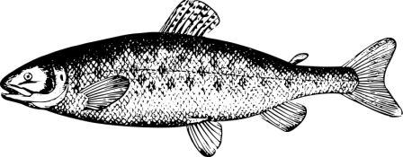 Salmon, by Firkin, openclipart.org