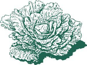 Dutch cabbage, by johnny_automatic, openclipart.org