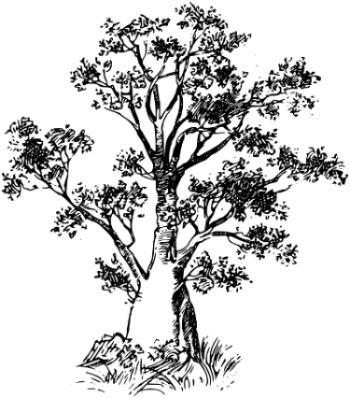 Baobab tree, by Firkin, openclipart.org
