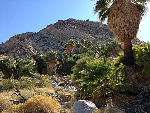 By Akos Kokai (California fan palm) [CC BY 2.0 (http://creativecommons.org/licenses/by/2.0)], via Wikimedia Commons