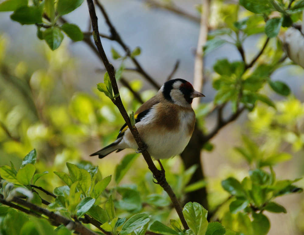 A goldfinch in a tree, image courtesy of  pixabay