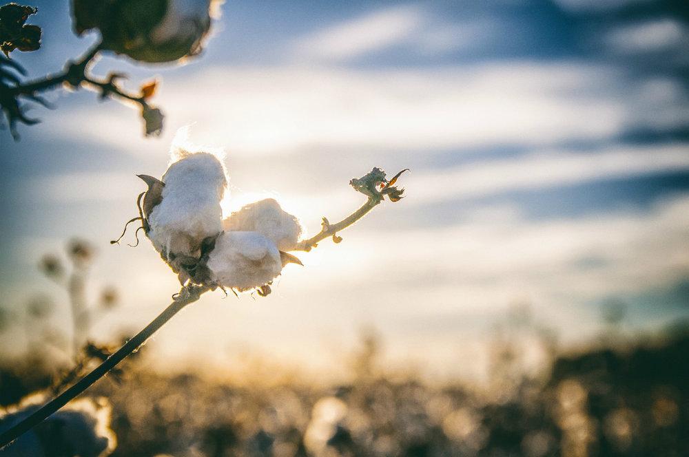 Cotton growing in south Alabama, by bobbycrim,  pixabay.com