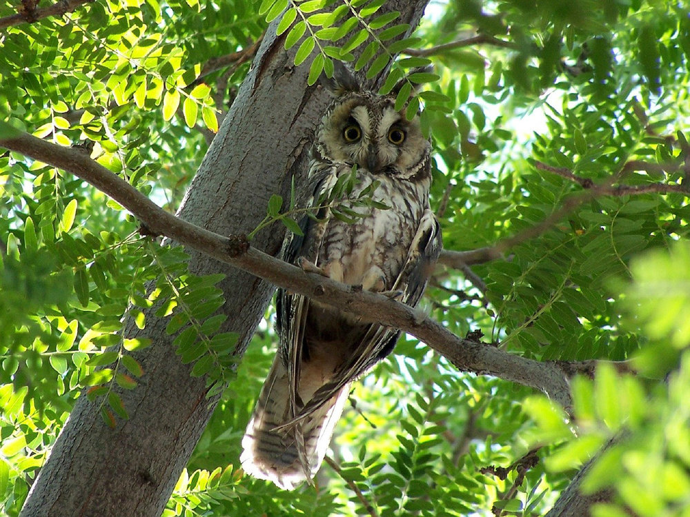 Long-eared owl in a tree with green leaves, from pixabay.com,  here