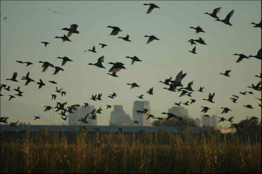 Mallard Skyline, Yolo Bypass: By Dave Feliz, Area Manager of the Yolo Bypass Wildlife Area, aka Yolodave at en.wikipedia [Public domain], from Wikimedia Commons