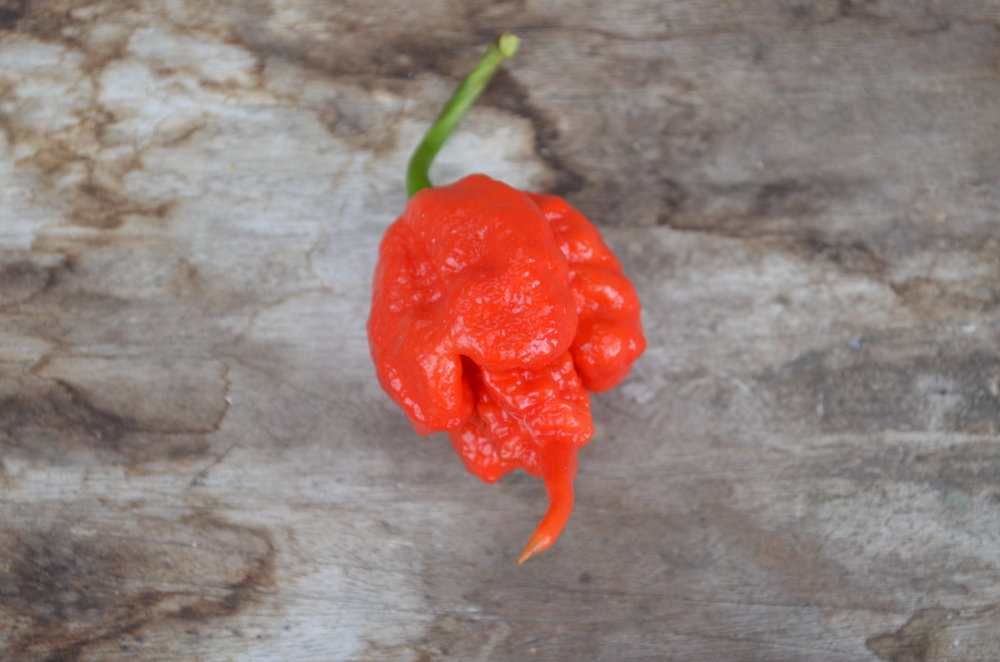 The carolina reaper - The Carolina Reaper is officially the Worlds Hottest Pepper as ranked by Guinness Book of World Records. It's hot, and by hot, we mean HOT! The Carolina Reaper can top-out at 2.2 Million SHU! Find Out More