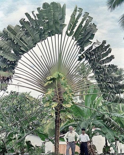 An amazing Traveller's Tree or Traveller's Palm, Kalutara, Sri Lanka @pinterest #srilanka  #trees #naturelovers
