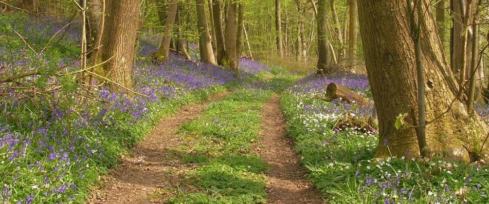 Bluebell Woods England ... Bluebell flower essence