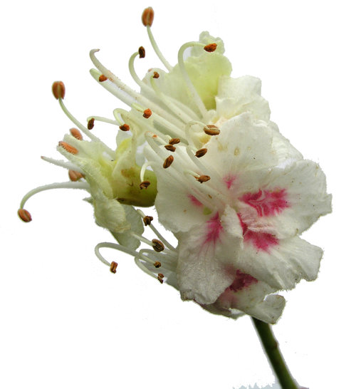 Saskias Flower Essences White Chestnut Flower Essence Removing