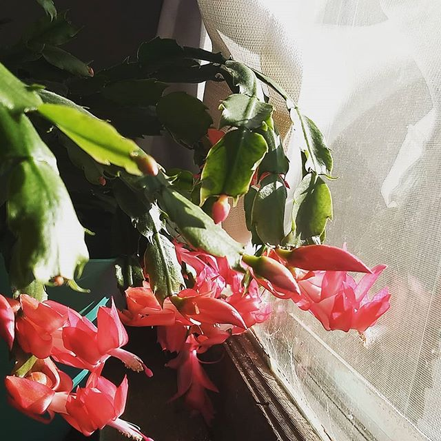 My holiday cactus thinks it's a May party day. How are you celebrating this sprummer weather?  I'm digging dirt out of my fingernails because I'm always too excited to get planting to grab my garden gloves.