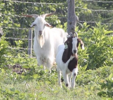 GOATS - The farmers of PPFG has been successful with a variety of goats