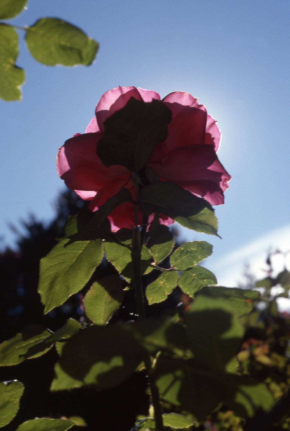 Backlit Rose, photo by Oscar Ellis, date unknown