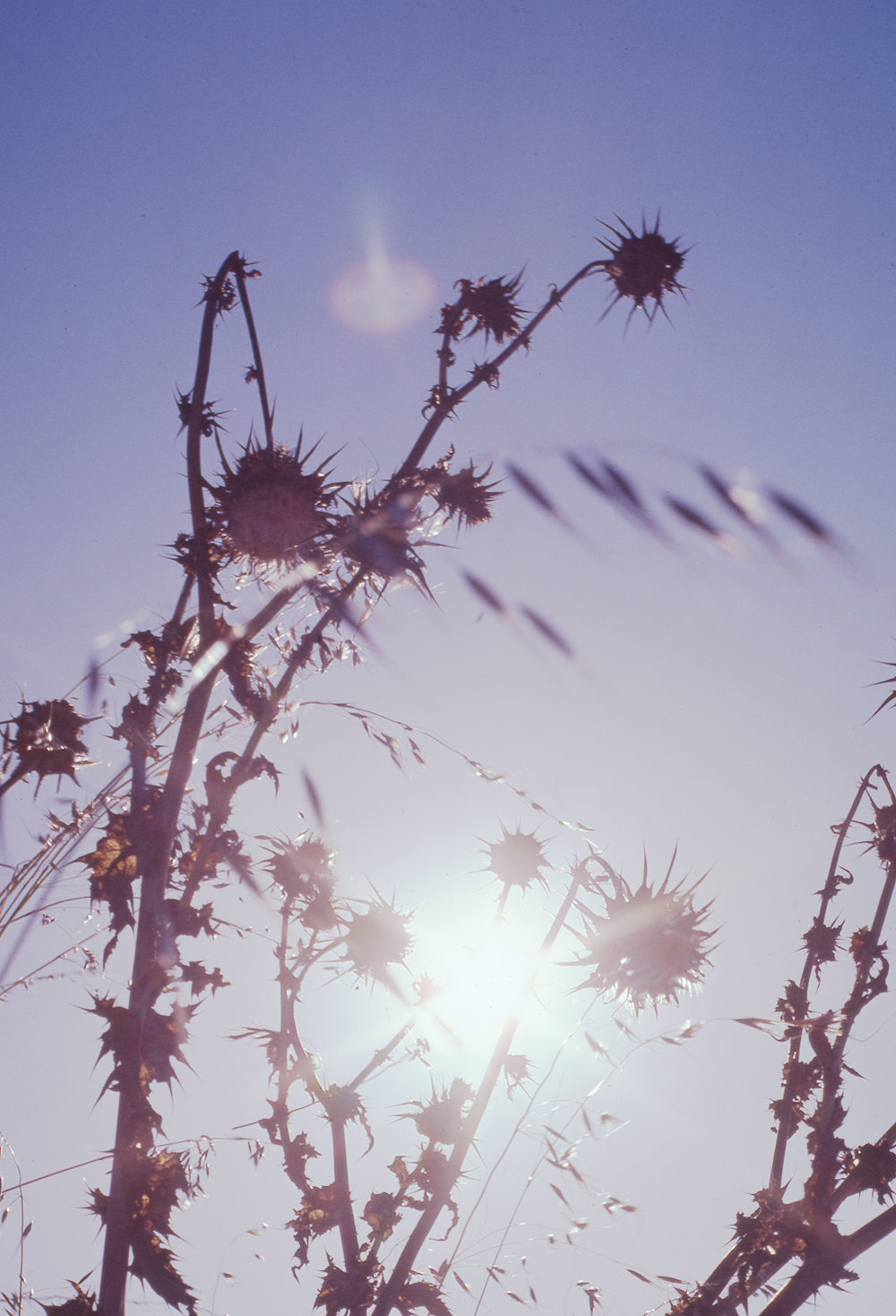 Thistles, photo by Oscar Ellis, date unknown