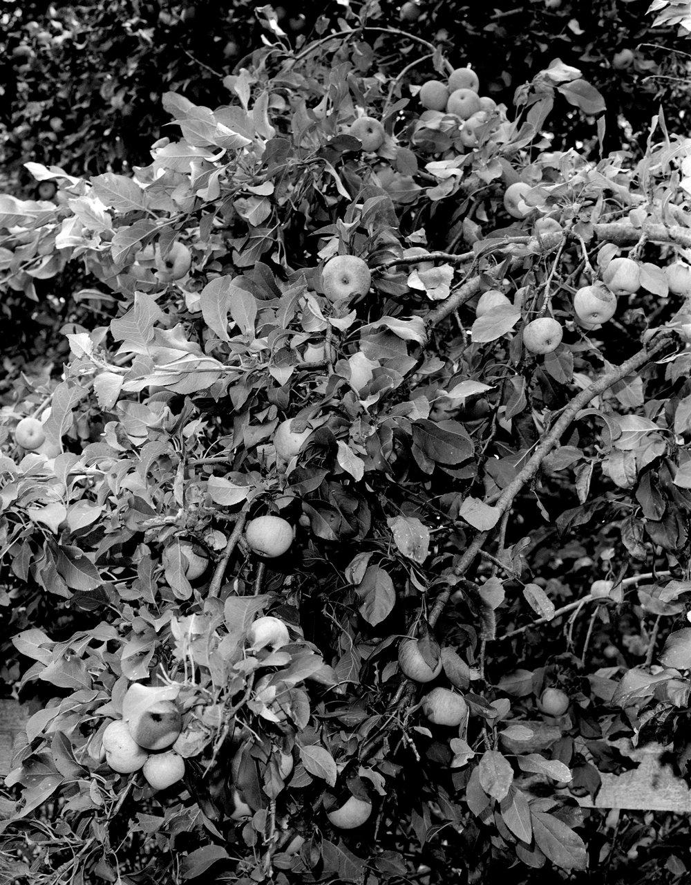 Apples, 2013