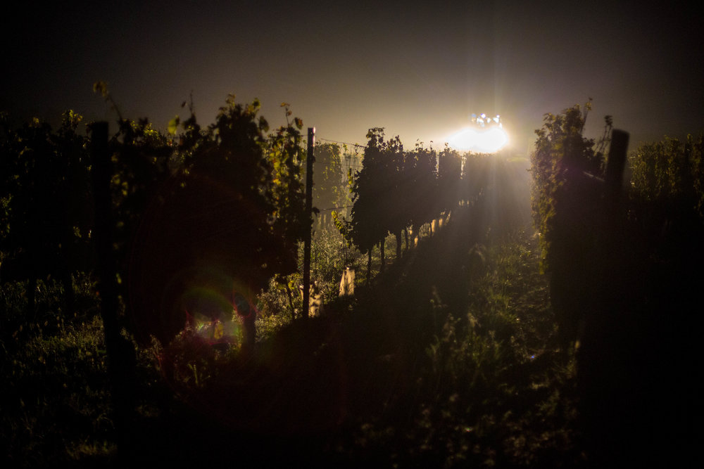 Harvesting Wine in Bordeaux