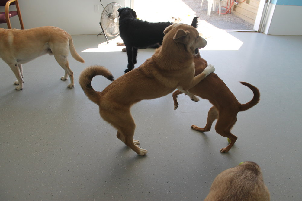 Regular Dog Daycare    While we encourage regularly socializing your pups, you're welcome to drop in whenever!   One Dog - $30  Two Dogs - $50  Three Dogs - $70