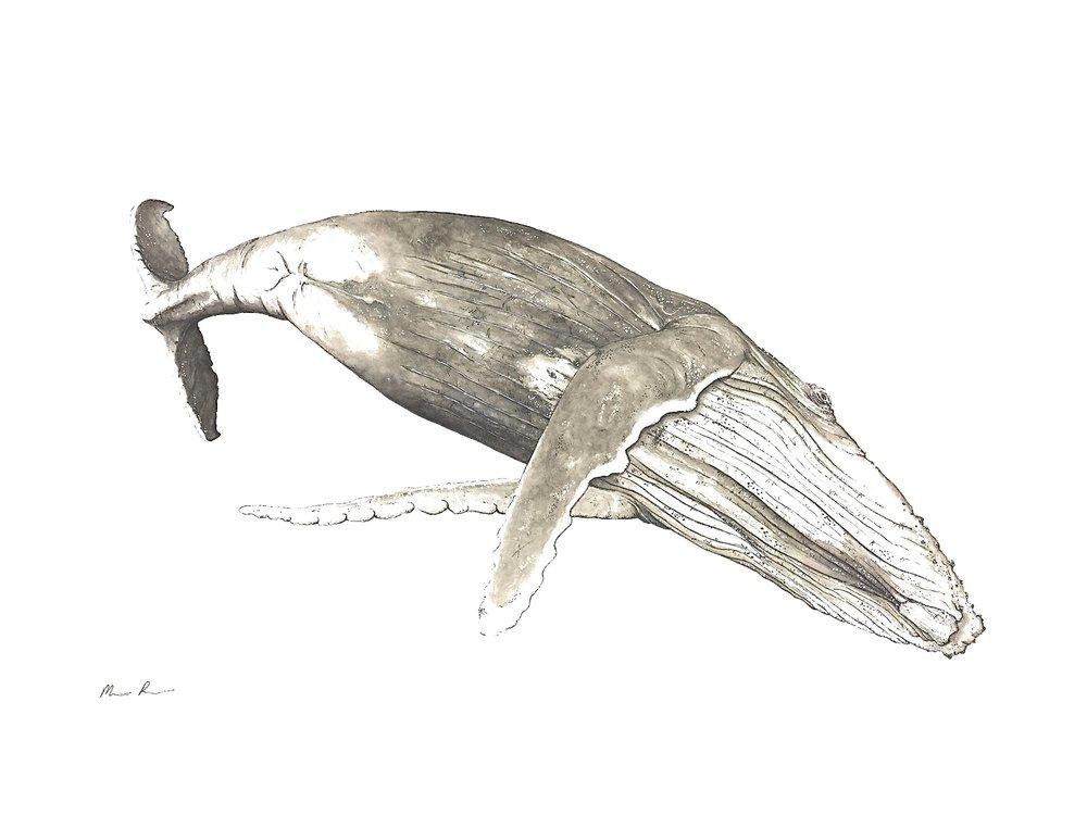 Humpback Whale - Framed29'' x 23''N/A
