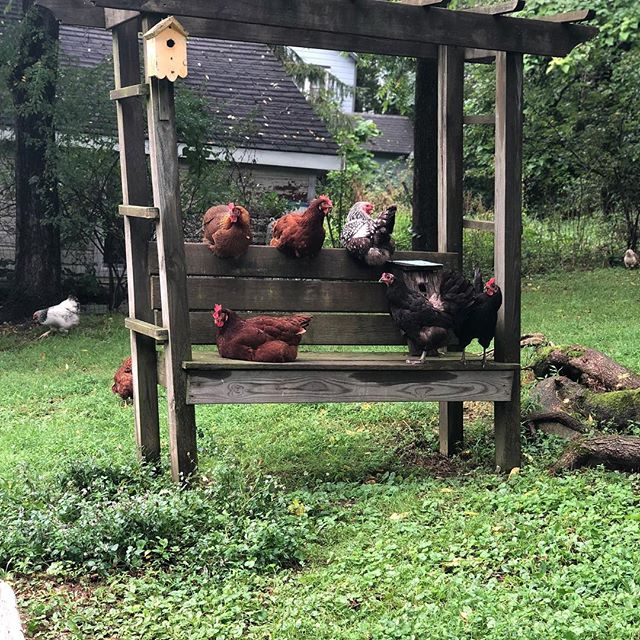 Some exceptional chickens in High Falls.