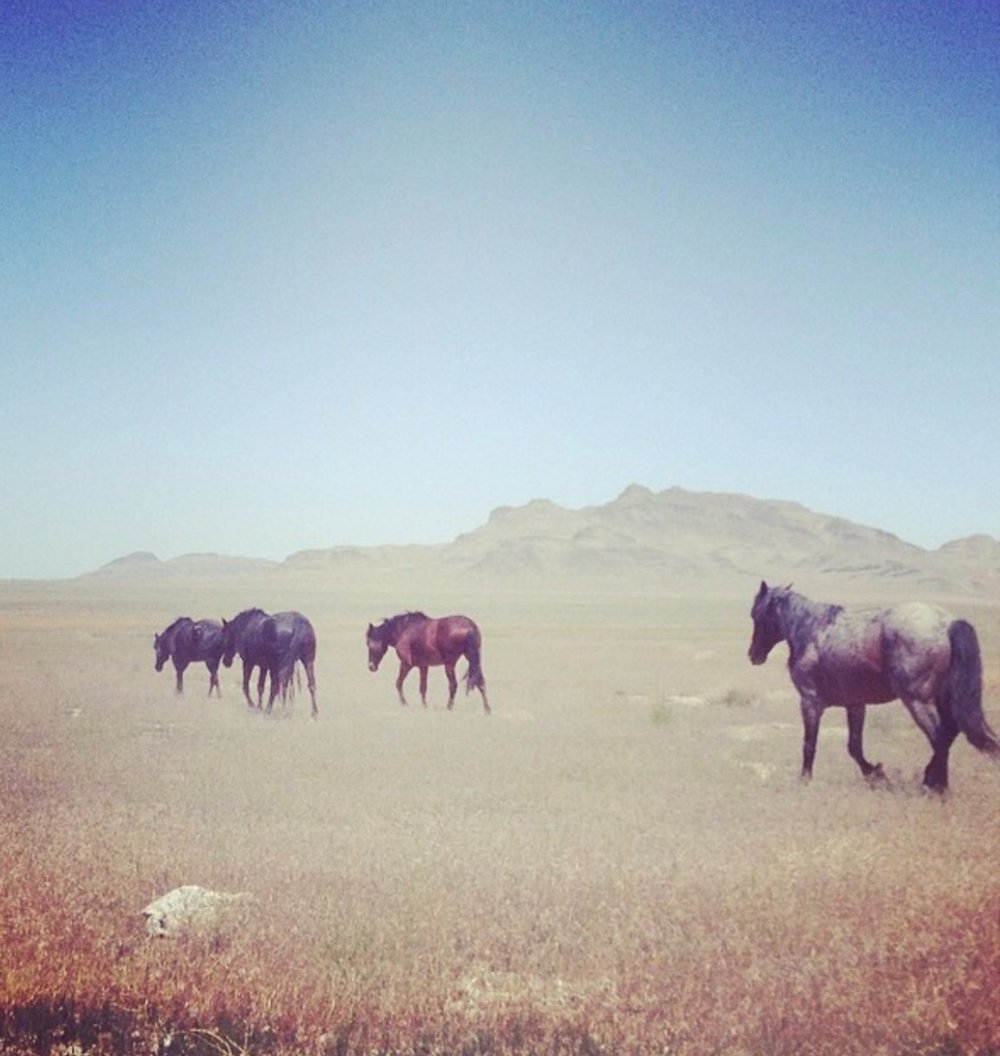 Some of the last wild horses left in the World, walking across the flats of the Great Basin Desert, Utah.