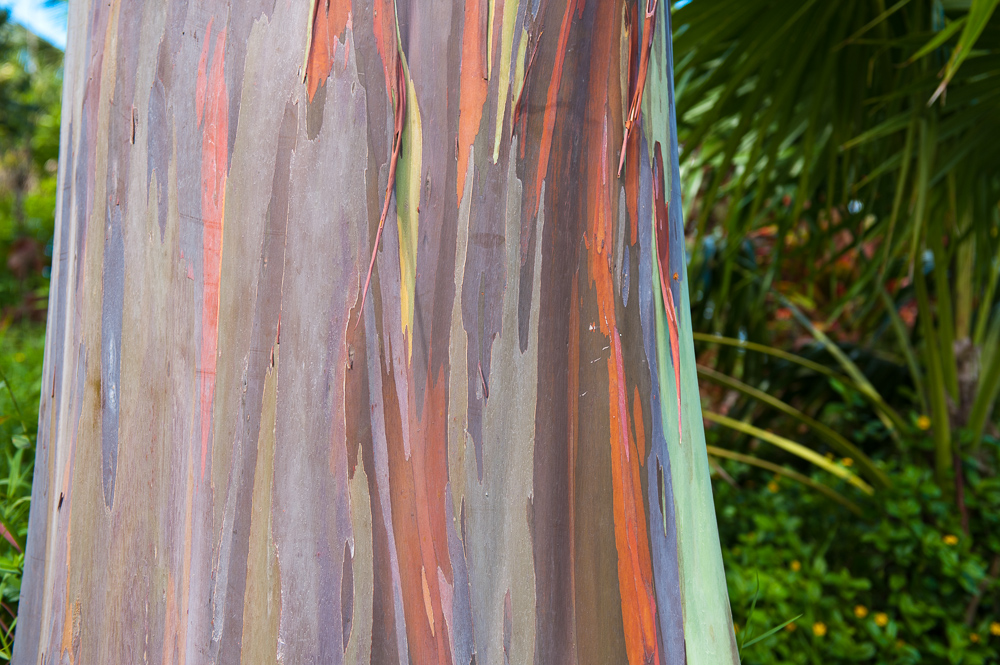 Rainbow Gum trunk.jpg