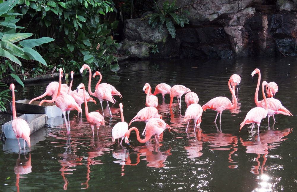 Flamingoes at the Jurong Bird Park.   Image:   Arul Online