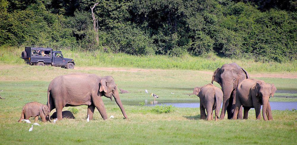 Elephants in the Yala National Park. Image:   Greg Montani