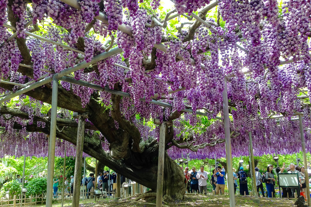 One of the wisteria trees that is over 140 years old. Image:  © David Astley
