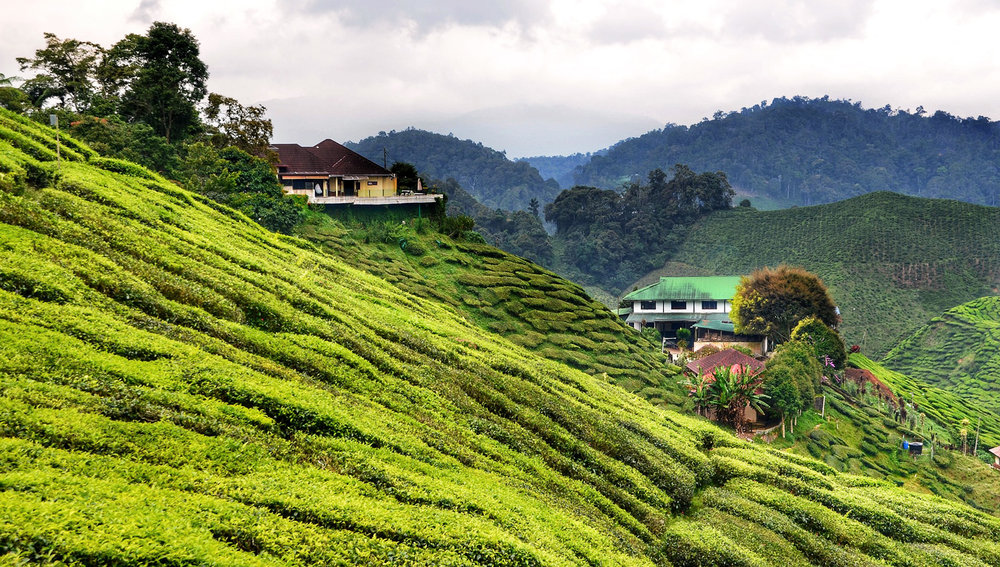 Tea plantations in the Cameron Highlands north of Kuala Lumpur.   Image:    Richard Mcall