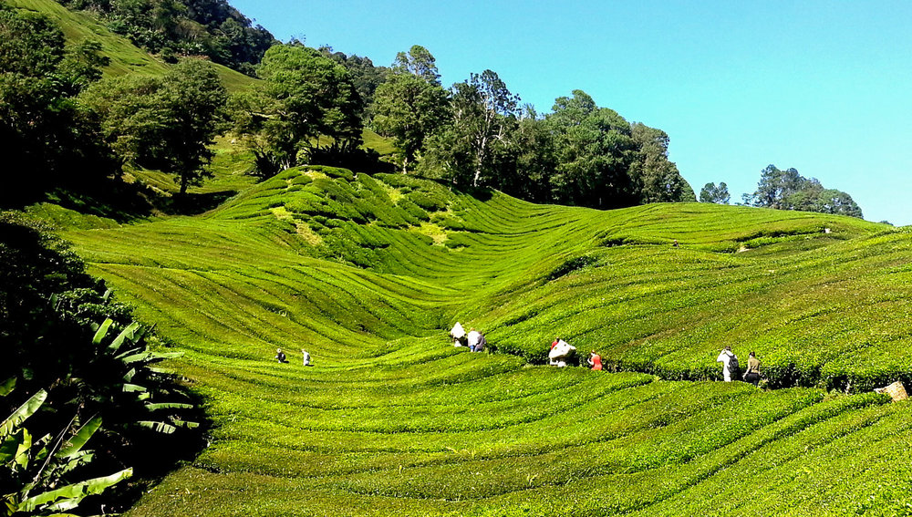 Hikers traversing a tea plantation in the Cameron Highlands.   Image:   Fonthip Ward