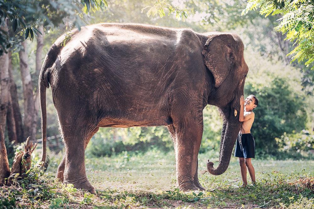 The Asian elephant has smaller ears than African species. Image:     Sasin Tipchai