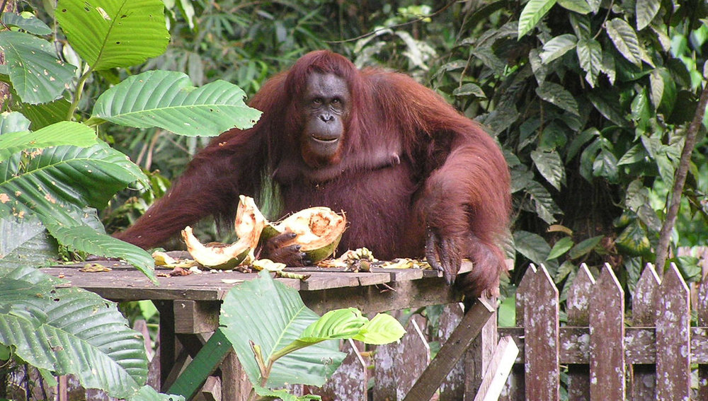 An orangutan in the Bako National Park.   Image:   Madeleine47