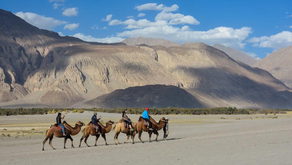 Tourists riding camels in the Nubra valley. Image:   Harikrishnan Mangayil