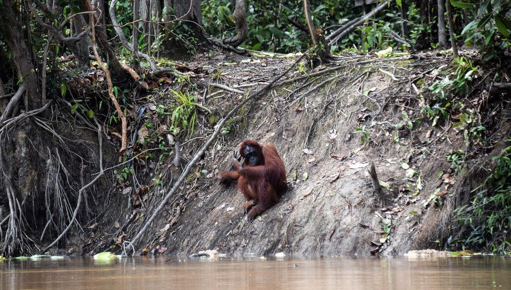 An orangutan in the Borneo rainforest. Image:     Marjolein van Zonneveld