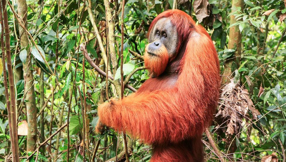 A Sumatran orangutan at Gunung Leuser. Image:     Donyanedomam    | Dreamstime