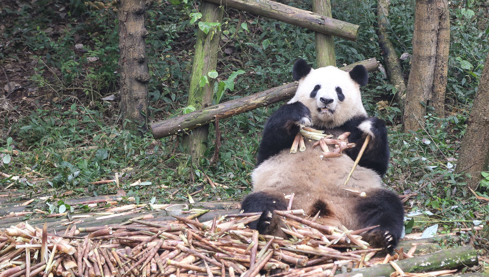 At Chengdu's panda breeding centre. Image:  © Alan Williams