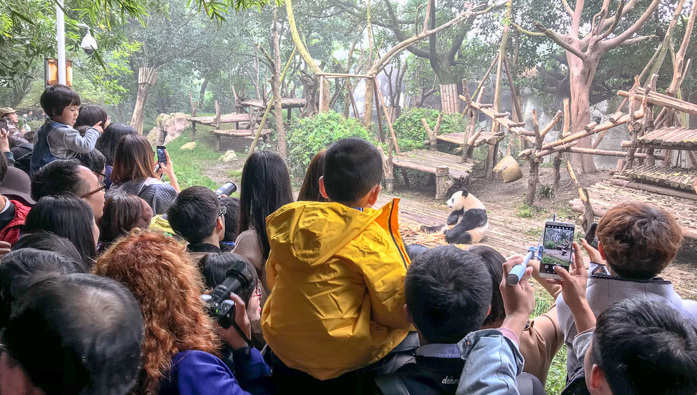 Crowds at the panda breeding centre. Image:  © Alan Williams