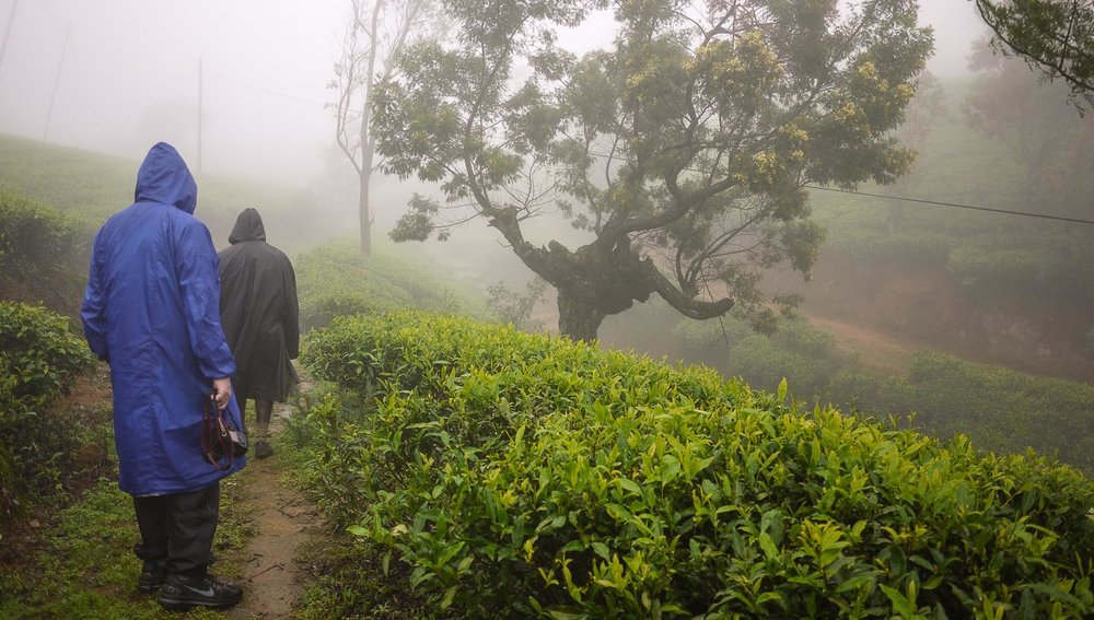 Walking in a tea planation near Nuwara Eliya. Image:  © Alan Williams
