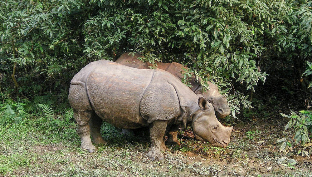 Rhinos in the Chitwan National Park. Image:     Simon Steinberger