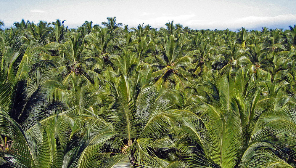 A plantation of coconut palms in Kerala. Image:  © Alan Williams