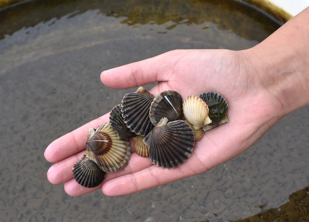 "Specialty Orders   A.R.C. often sells seed in sizes smaller than the standard R1.5 – R3/4 and will spawn other species such as  Bay Scallops ,  Surf Clams , Razor Clams and DBY Oysters to order. Call 508-385-3933 x3 for information and quotes on spawning ""specialty"" species, and for quotes on orders for  sizes other than standard ."