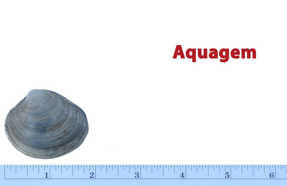 Clam-Sizes-Aquagem.jpg