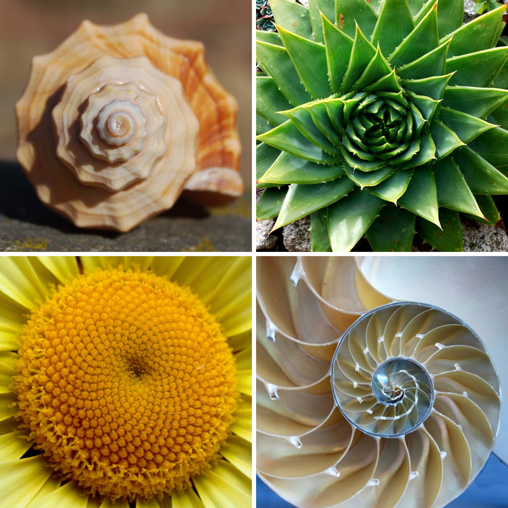 The Golden Ratio - The Golden Ratio - The Golden Ratio is a precise, mathematical figure (specifically, 1.618) - a logarithmic phenomenon - that creates and repeats an organic, spiral form that can be found everywhere – from the designs of iconic structures through the ages and throughout nature's forms - across nature, in ferns, flowers, sea shells, even galaxies and hurricanes – to our physical bodies (healthy hearts exhibit it). It's everywhere, in the very fabric of our beings and our existence. It is said that this is the Divine Code of our universe, with profound power to enhance health and longevity through its understanding and application. Applying and harmonizing with this principle and ratio can bring greater efficiency, harmony, happiness, health and success into your life.
