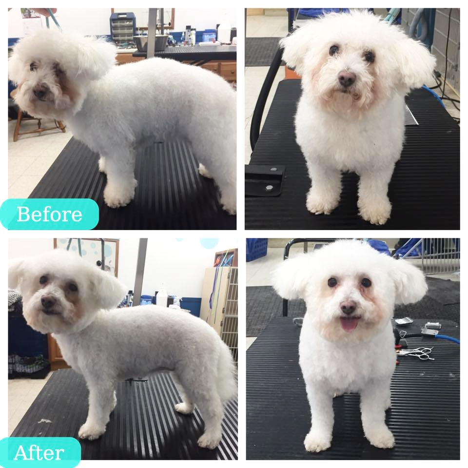 Best dog groomer and dog grooming for breed-specific pattern cuts for toy dogs, large dogs, poodle haircuts, shih-tzu haircuts, yorkie haricuts in Orinda, Lafayette, and Moraga.