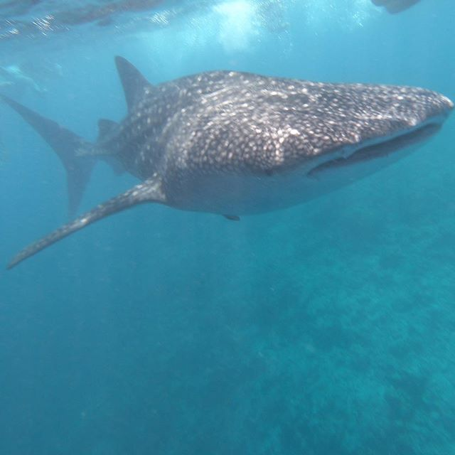Whales shark playing with us 😃#embuduvillage #maldives #naturephotography #diving#ocean#blueplanet #sharks