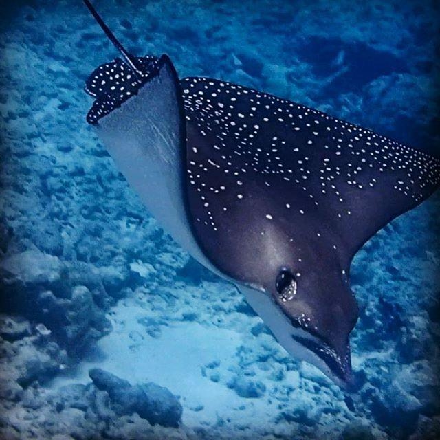 Eagle ray fly ...so cute 😍#nature #diving#naturephotography #beautifullworld #amazingcreatures #oceans #embuduvillage #embudu